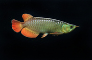TOP QUALITY SUPER RED, ASIAN RED, CHILI RED AROWANA FOR SALE